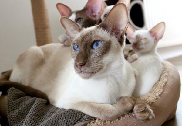Enfermedades que hacen que tu gato pierda mucho peso