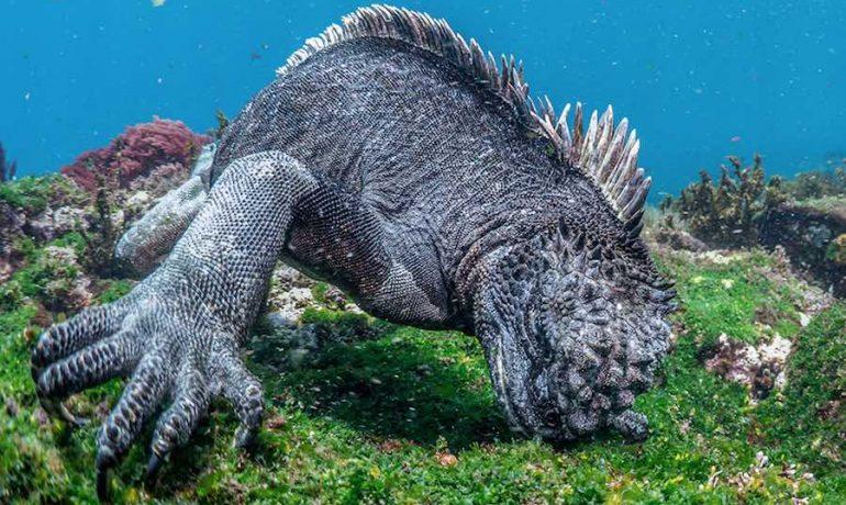 Hábitat y alimentación de la iguana marina de Galápagos
