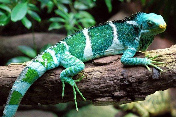 Iguana crestada de Fiyi