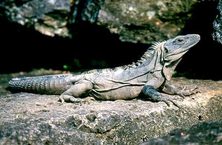 Iguana negra de cola espinosa