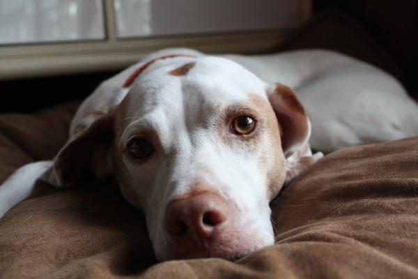 La confirmación del veterinario para saber si mi perra está embarazada