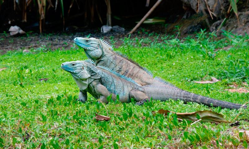 La reproducción de la iguana