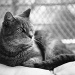 Muerte súbita en gatos