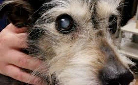 Operación de cataratas en los perros