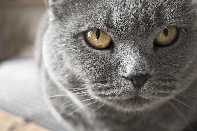 Origen de la raza de gato cartujo