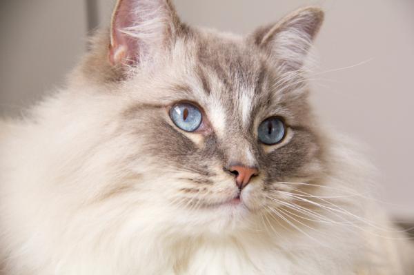 Origen de la raza de gato ragdoll