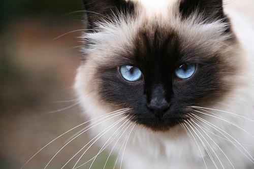 Origen de la raza de gato sagrado de Birmania