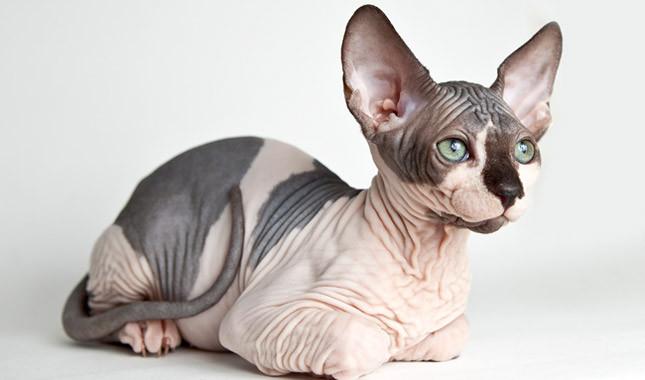 Origen de la raza de gato sphynx