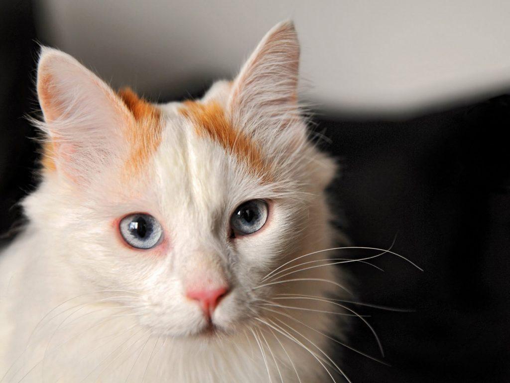 Origen de la raza de gato van turco
