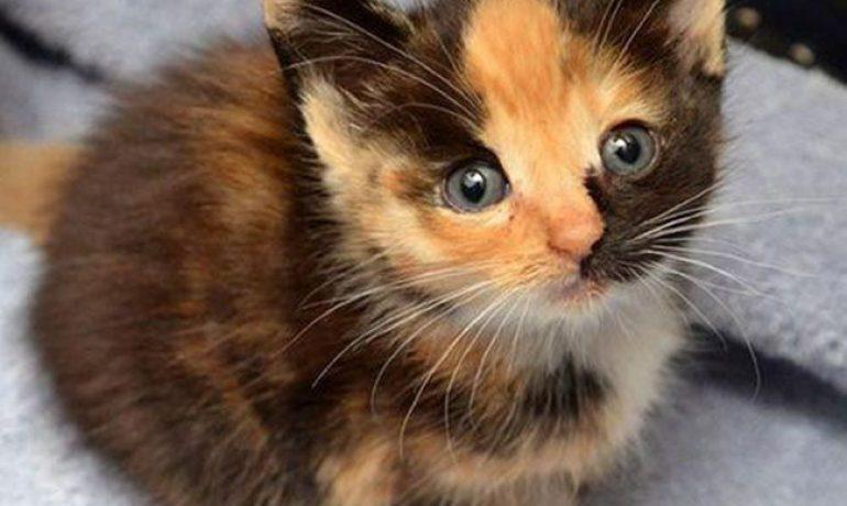 Por qué los gatos tricolor son HEMBRAS