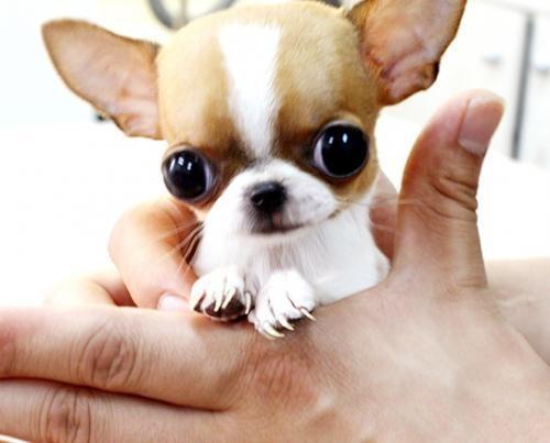 Te Contamos Los Riesgos De Tener Un Perro Taza De Te Descubrelos
