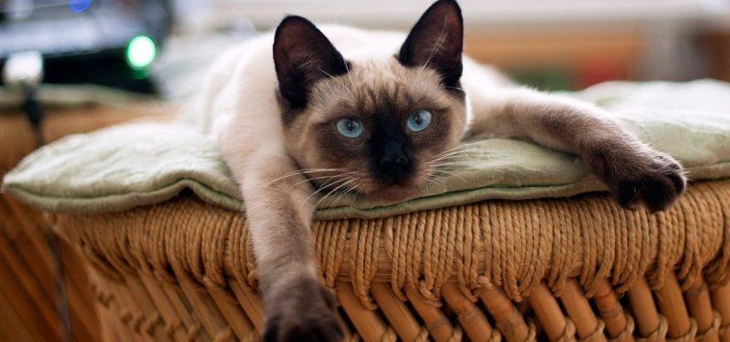 Por qué son buenas las vitaminas para gatos desnutridos