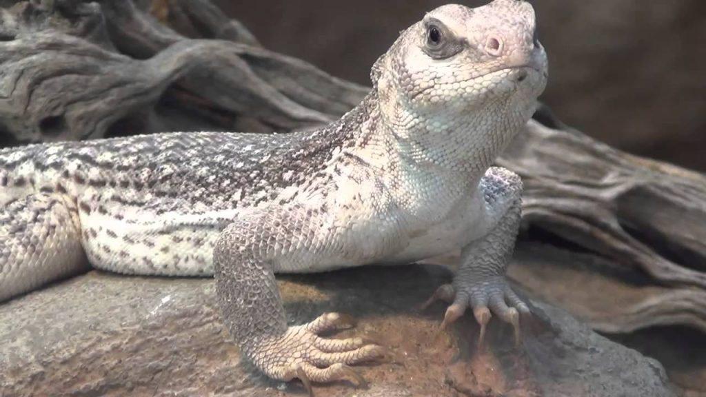 Qué come la iguana del desierto