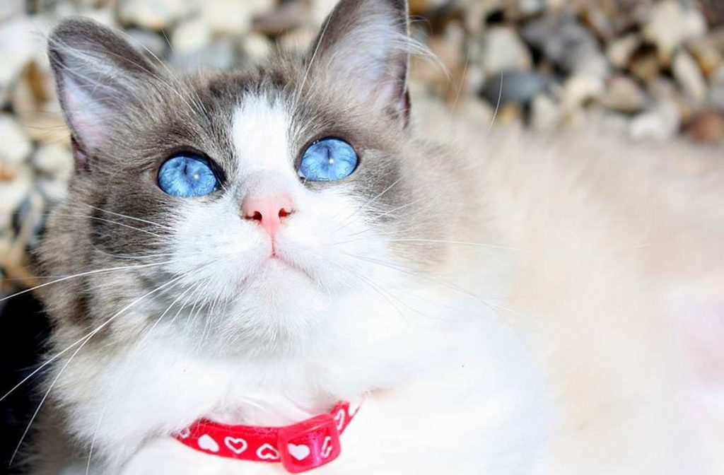 Qué es el hipotiroidismo en gatos