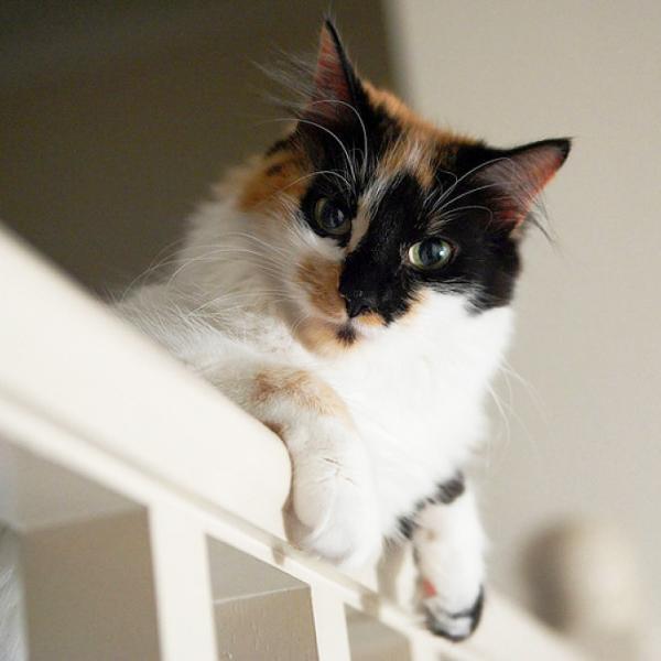 Qué hago si mi gato no puede orinar