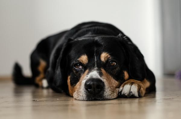 Que es la artritis en perros