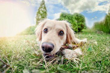 Remedios caseros para la picadura de avispa en perros