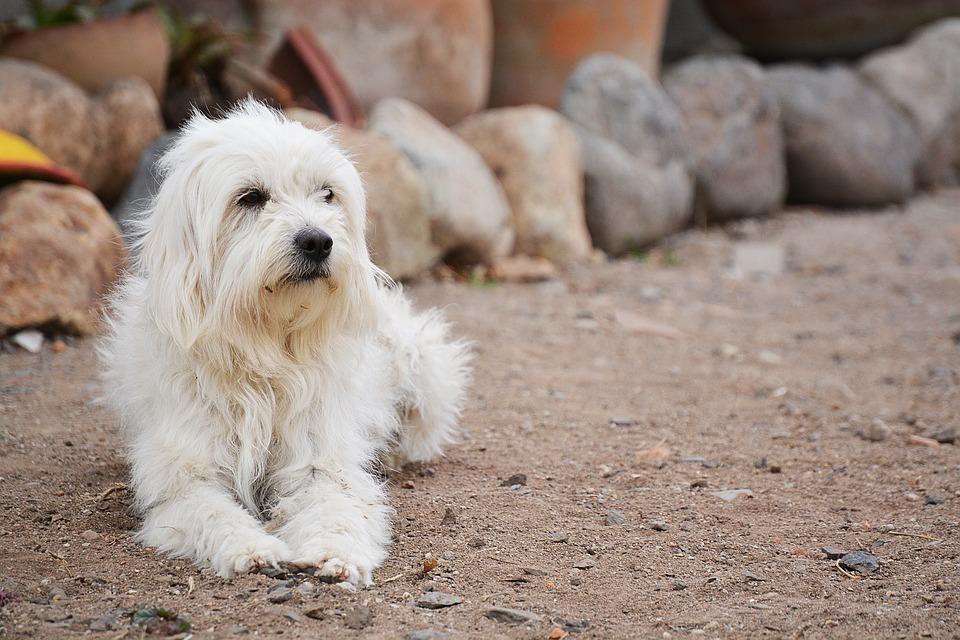 Remedios naturales para la dermatitis atópica en perros