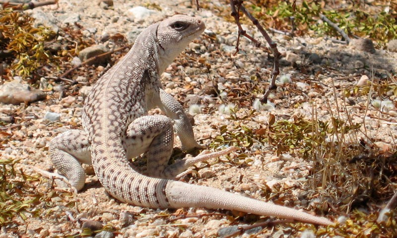 Reproducción de la iguana del desierto