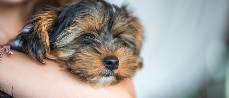 Síntomas de la anemia canina