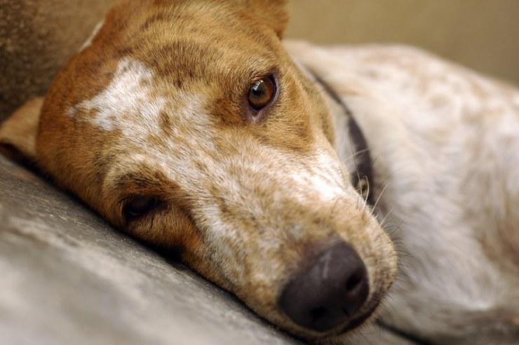 Síntomas de la cistitis en perros
