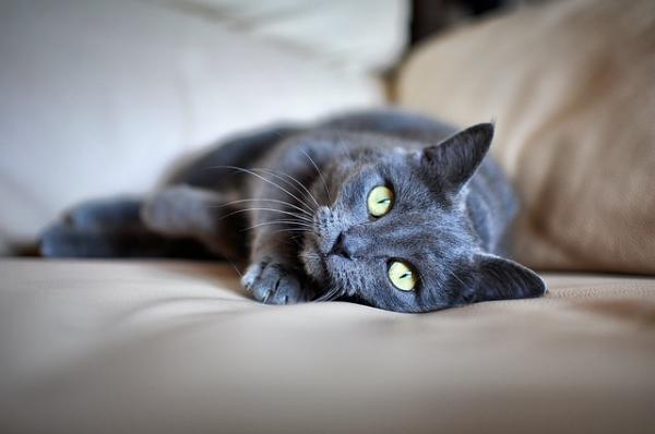 Síntomas de la insuficiencia cardíaca en gatos