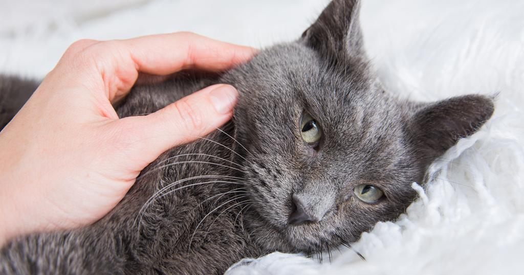 Síntomas de la insuficiencia renal en gatos