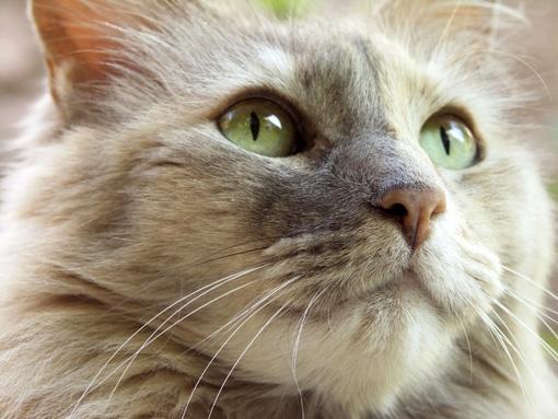 Síntomas de la leucemia felina