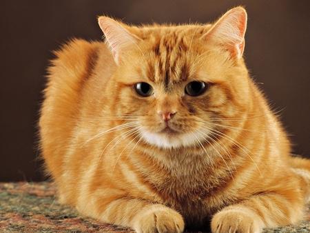 Síntomas de la peritonitis infecciosa felina