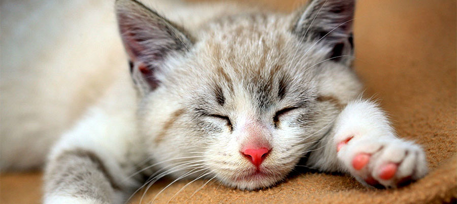 Síntomas del exceso de hormona tiroides en gatos