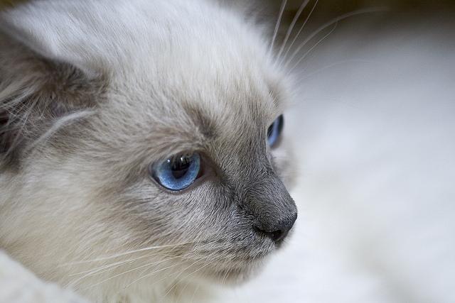 Síntomas del hipertiroidismo en gatos