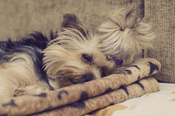 Síntomas del resfriado en los perros