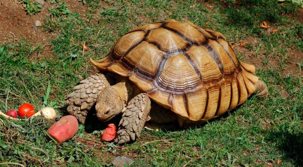 Síntomas generales de enfermedad en las tortugas de tierra