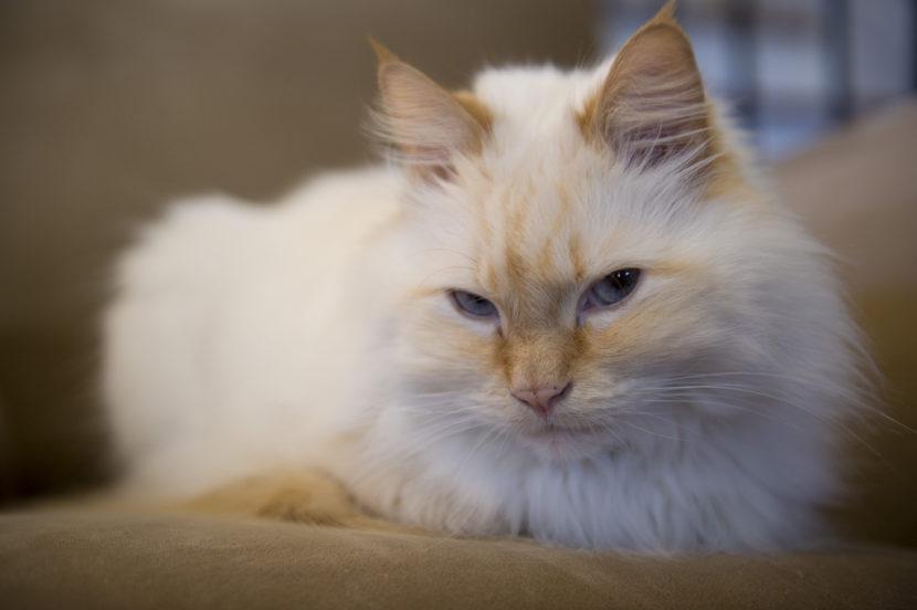 Salud de la raza de gato ragdoll