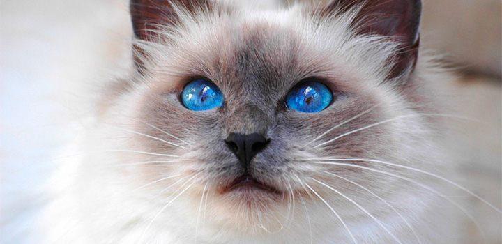 Salud de la raza de gato sagrado de Birmania