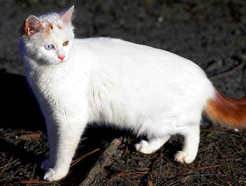 Salud de la raza de gato van turco
