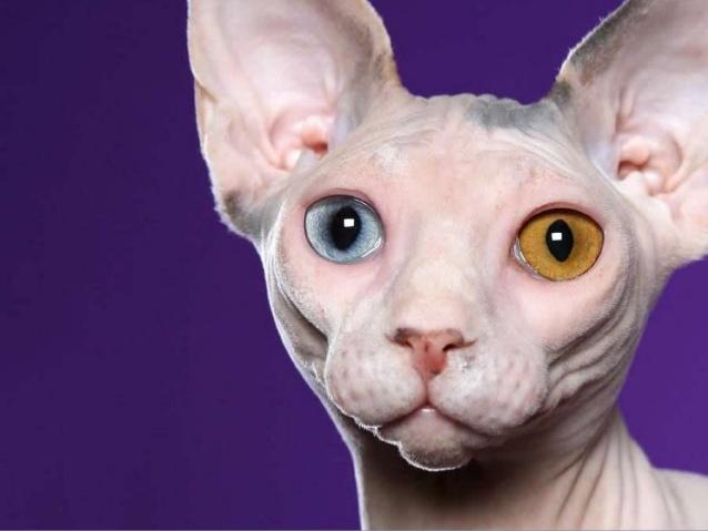 Salud del gato sphynx