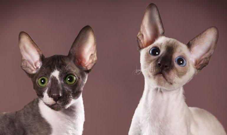 Te contamos como es la raza de gato Cornish rex