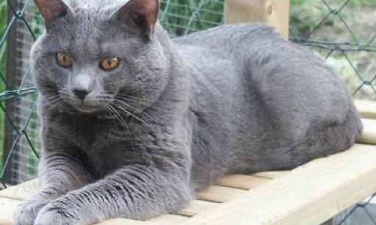 Te descubrimos todo sobre la raza de gato cartujo