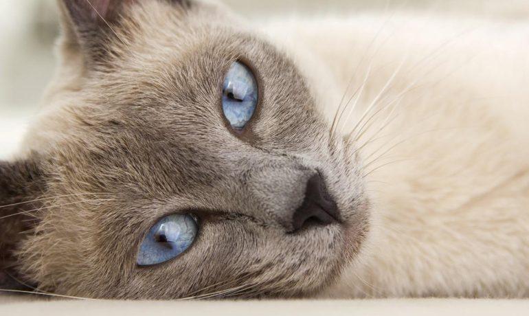Te hablamos sobre los mejores tranquilizantes para gatos