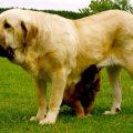 Te lo contamos todo sobre el perro mastín español