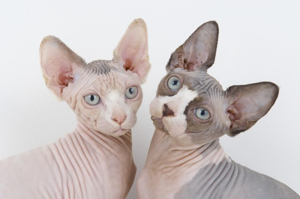 Temperamento de la raza de gato sphynx