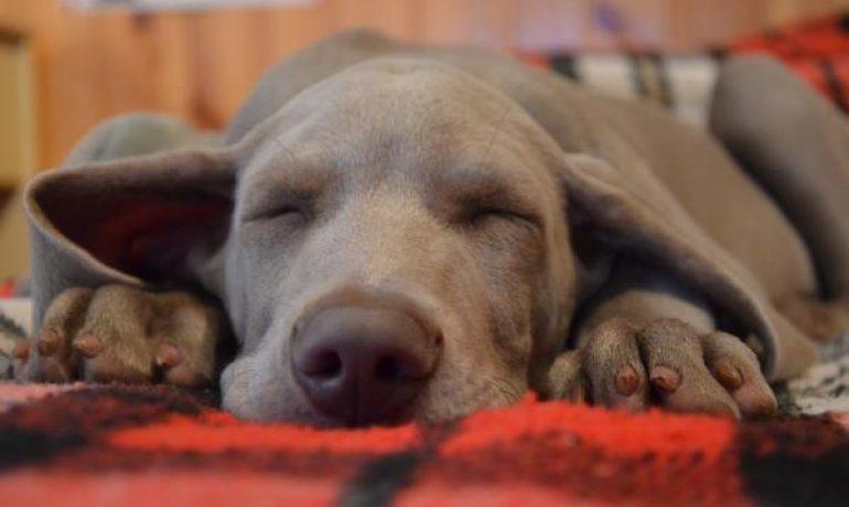 Todo sobre el resfriado en los perros
