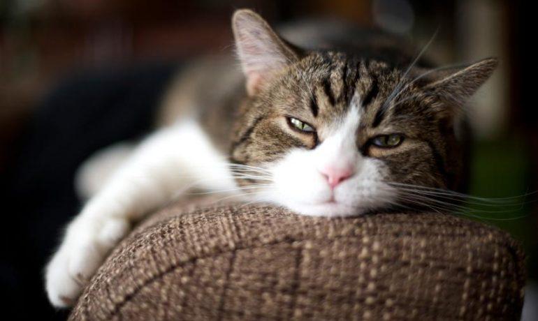 Todo sobre la insuficiencia cardíaca en gatos
