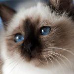 Todo sobre la raza de gato sagrado de Birmania