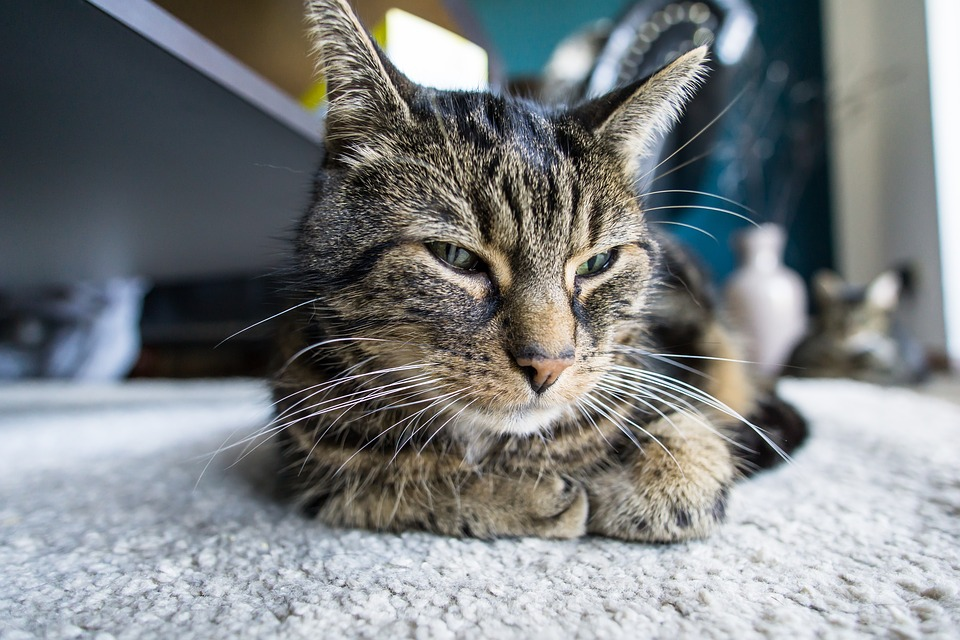 Tranquilizantes para gatos