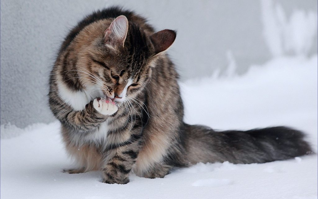 Tratamiento de la caída del pelo en gatos