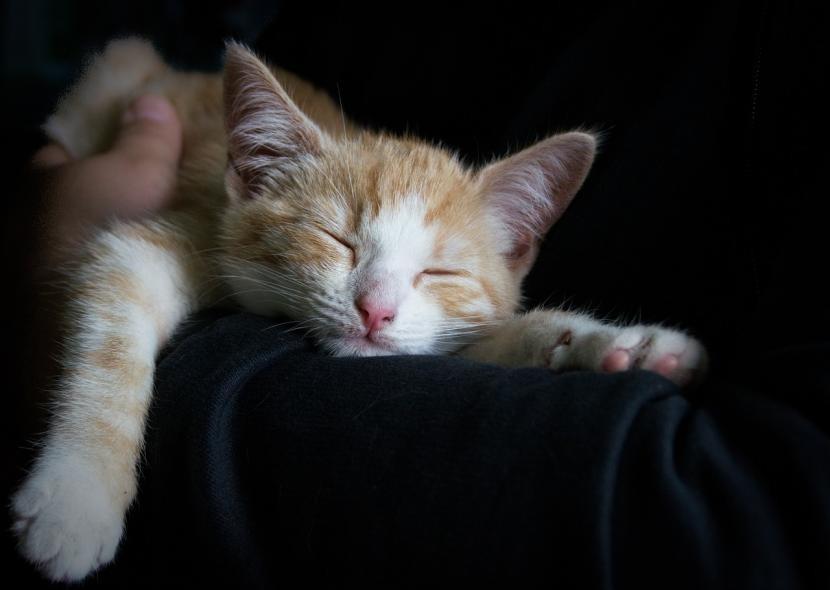 Tratamiento de la insuficiencia cardíaca en gatos
