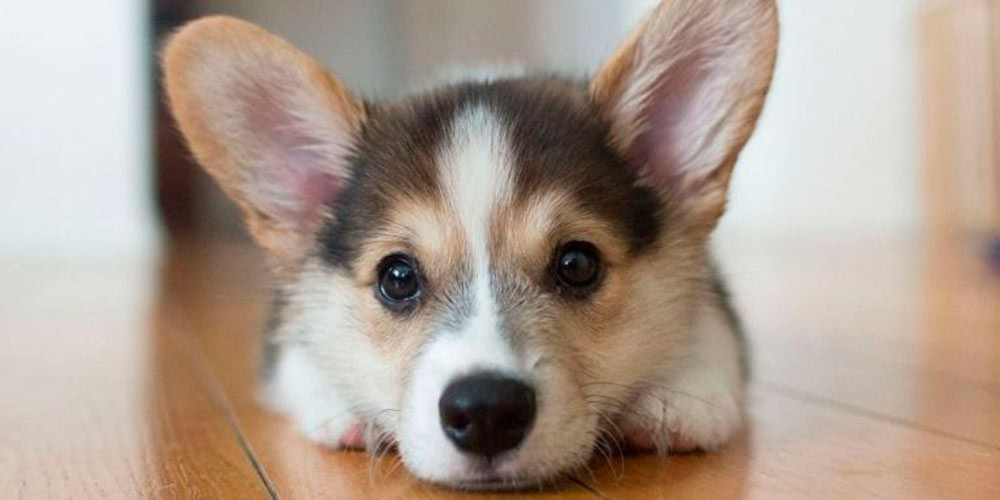 Tratamiento de la leishmaniasis en perros