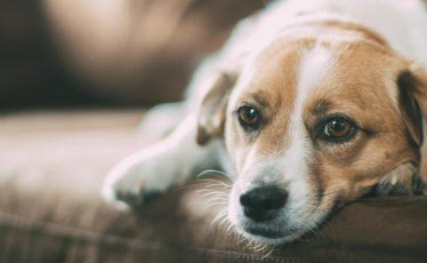 Tratamiento del cáncer de mama en las perras